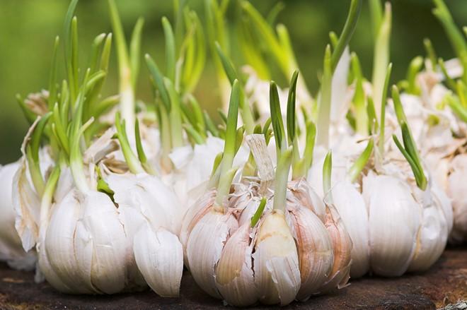 Hành tỏi mọc mầm có độc không? Có ăn được không?
